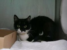 *** TO BE DESTROYED 11/29/17 *** Little, tuxie princess needs time and love. BINX is fearful at the shelter and was found as a one yr old stray....She needs a handsome prince foster or adopter to sweep her away to a new and loving home and castle!!