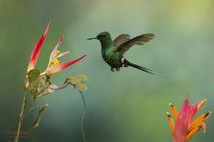 Green Thorntail, Cinchona, Costa Rica