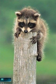 $5.95 - Animal Poster Raccoon Baby On A Log 22X34 Animals #ebay #Collectibles