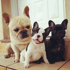 This beautiful family. | 50 Adorable Reasons That 2013 Was The Year Of The French Bulldog
