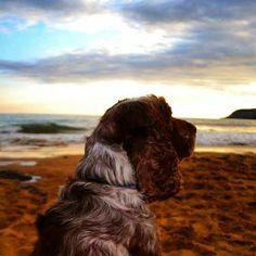 'Dog at sundown' caswell bay.
