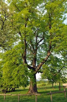 linden tree have a sweet scent when in bloom can be used to make a pleasant tea