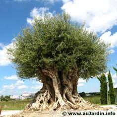 Olivier millénaire, âge estimé de 1800 ans planté vraisemblablement par les romains en Espagne