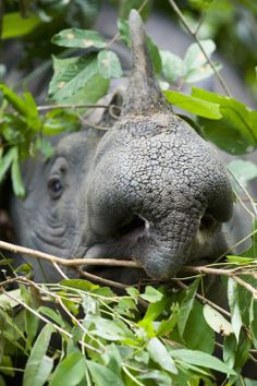 Sumatraanse neushoorn  // Credits: Getty Images  // Rode lijst: Vier bedreigde dieren die er nog nét zijn