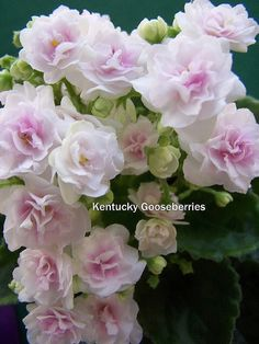 Kentucky Gooseberries. • D. Rollins. • DAVS 1602 • Semi miniature. • Double white star with light pink blush. • Medium green, serrated foliage.