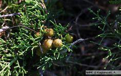 Θαμνοκυπάρισο, Juniperus phoenicea | Μουσείο Φυσικής Ιστορίας Κρήτης Photo Archive, Fruit, Image