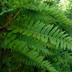 Polypodium Vulgare - Smooth long leathery fronds are deeply cut, spreads by a creeping rootstock.