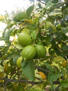 #limonkokuludamlalar