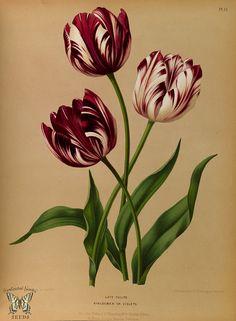 Late Tulips. Album van Eeden. Harlem's Flora, door A.C. Van Eeden & Co. (1872)   by Swallowtail Garden Seeds