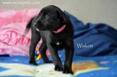 Wiskett is an #adoptable #LabradorRetriever #Puppy #Dog in #Danielsville, #GEORGIA. Can't adopt? Sponsor instead! For I will get to visit our low cost spay and neuter clinic. This improves my chances of being ado...