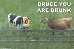 Bruce, You are Drunk  Cows | Nobody Goes Here.