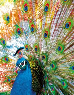 Proud Peacock, a 500 piece jigsaw puzzle by Springbok Puzzles.