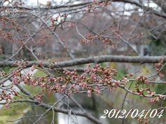 京都 哲学の道 桜 2012/04/04
