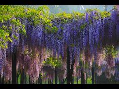 japanese wisteria | glicinija, amazing, flowers, pink, purple, spring, wisteria