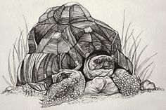 About Tortoise Ink Drawing: My love for detail drew me to the inspiration for this piece. I loved the intricate detail in this tortoise shell. Art by Brandie Larson, graphicbrewery.com.  Want a custom pet portrait, contact me at my website!