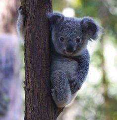 Niedliche Koala - Bing Bilder - Wild An. Cute Wild Animals, Cute Funny Animals, Animals Beautiful, Animals And Pets, Koala Baby, Baby Otters, Wild Animal Sanctuary, Australian Animals, Mundo Animal