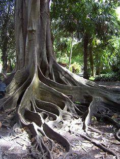 Banyan Tree , FL   pinned by Western Sage and KB Honey (aka Kidd Bros)