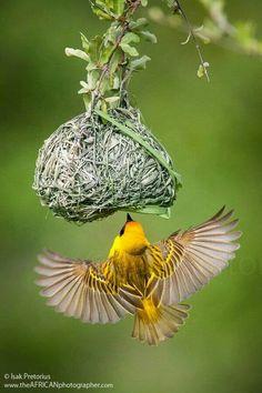 Amazing weaver bird