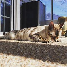 """""""My day starts with push-up"""" 😽 「私の1日は腕立て伏せで始まるのよ!」😽 #腕立て伏せ #pushup  #今日のゆき2017年  #todaysyuki2017  #愛猫 #スノーベンガルゆき #ベンガル #ベンガル猫 #猫 #ねこ #にゃんこ #にゃんすたぐらむ #可愛い #豹猫  #mycat #bengalyuki #snowbengal #bengal #bengalcat #cat #catsofinstagram #catlover #ilovemycat #cutecat #kawaii #neko #ig_bengals #bengalcatworld"""