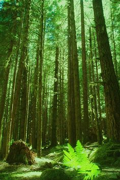 Washington - temperate rainforests  (Olympic National Park) ...