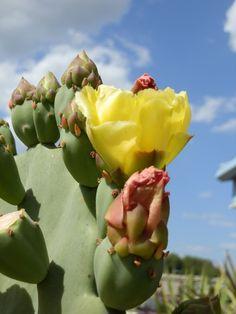 Texas Plant - Prickly Pear