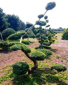 Taxus baccata 'Semperaurea' #bonsai#niwaki#garden#bonsaitree#bonsaitrees#bonsailovers#bonsaiart#gartenbonsai#formflanzen#trees#instabonsai#garten#pflanzen#pruning#instagramers#instagardenlovers#foto#japan#sun#sommer#august#green#instagram#instagood#instalike#instafoto#instacool#instagarten#emsland#instaart#