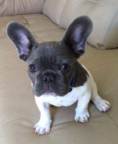 Black Head and White Body, gorgeous French Bulldog Puppy❤️