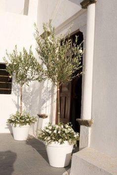 Olive decoration at Church entrance. Potted Olive Tree, Potted Trees, Olive Wedding, Tree Wedding, Church Wedding, Back Gardens, Outdoor Gardens, Pot Plante, Entrance Decor