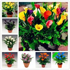 Aliexpress.com : Buy calla lily seeds 100 pcs rare flower seeds for home garden planting (not calla lily bulbs),bonsai pot plant perennial flowers from Reliable calla lily seed suppliers on china garden center