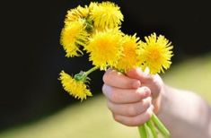 Dandelion Bouquets Are Dear to a Mother's Heart Red Rose Petals, Dandelion Flower, Best Mother, Natural Disasters, Kraut, Wild Flowers, Hibiscus, Tandem, Bouquet