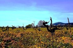 vineyardsss...