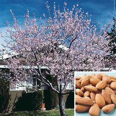 Hall's Hardy Almond Tree. A rapidly growing tree to 15-18 ft. with showy pink blooms and dense foliage. Begins production often in the third year and will produce 12-15 lbs. of nuts at maturity [may not always crop in zone 5]. Nuts mature in September. Self-fertile. Zones: 5 - 8 (-10° F.). Height: 15 - 20 feet. Shade Requirement: Full sun. - See more at: http://www.gurneys.com/product/2234#sthash.RlMf6FFY.dpuf