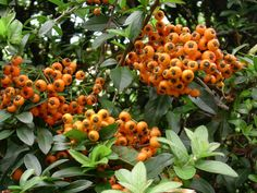 Pyracantha Sottoclasse	Rosidae Ordine	Rosales Famiglia	Rosaceae Genere	Pyracantha specie     coccinea