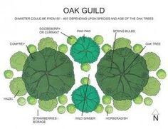 Oak Guild, consisting of oak tree, gooseberry or currant, spring bulbs, wild ginger, horseradish, strawberries, borage, hazelnuts, comfrey .