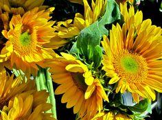 Half Moon Bay Sunflowers, Flowers, Half Moon Bay, Near San Francisco Art. California Art Photos on cardboard, Pasha Polikarpov