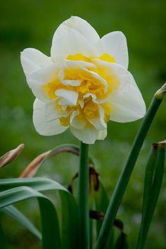 Narcissus 'Unique'