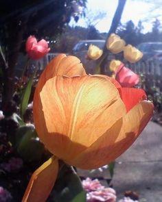 Tulip.  Placerville, CA by M.E.
