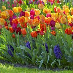 Tulip (Tulipa) ....Delcaration of love