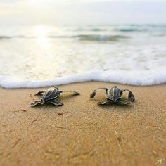 Baby Leatherback Sea Turtles