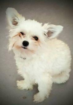 Poppy Bichon-Chihuahua | Pawshake