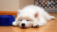 japanese spitz pup. puppy puppy puppy :]