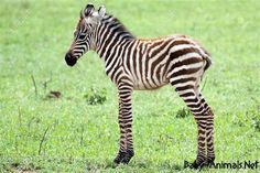 Picture of Cute baby zebra against green grass background stock photo, images and stock photography. Funny Animal Memes, Funny Animals, Zoo Animals, Wild Animals, Mountain Zebra, Zebra Wallpaper, Hd Wallpaper, Green Grass Background, Baby Zebra