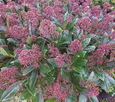 Ericaceous Plants, Flowering Shade Plants, Shade Tolerant Plants, Shade Garden Plants, Garden Shrubs, Garden Paving, Evergreens For Shade, Small Evergreen Shrubs, Shade Loving Shrubs