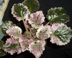 Easy To Grow Houseplants Clean the Air Pink Feather Pink Flowers Perennial Flowering Plants, Herbaceous Perennials, Red Roses, Pink Flowers, Easy To Grow Houseplants, Whatsoever Things Are Lovely, Saintpaulia, Pink Feathers, Plant Nursery