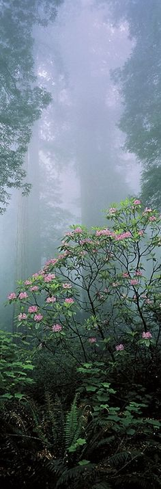 ~~Rising from the Mist - as fog lifts from the floor of a redwood forest, sunlight streaming through the trees reveals a rhododendron in full bloom, Redwood National Park, California by Thomas D. Mangelsen | Images of Nature Gallery