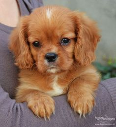 pictures of ruby cavalier king charles spaniel - Google Search More