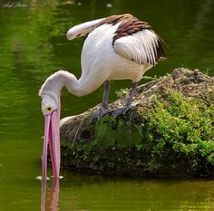 'Searching for Dinner' by Arif Photos Pretty Birds, Love Birds, Beautiful Birds, Sea Birds, Wild Birds, Kinds Of Birds, Mundo Animal, Am Meer, Big Bird