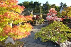 Our Maple and Satsukis trees in May Bonsai Shop, Bonsai Nursery, Moving To The Uk, Largest Waterfall, Miniature Trees, Elizabeth Banks, Bonsai Garden, Chelsea Flower Show, Trees And Shrubs