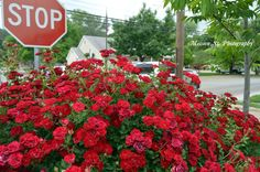 """""""Stop and smell the rose""""  literally at the corner of Vernon & Walnut St., right in front of La Vita Italian Restaurant!"""