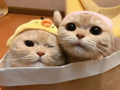 Cute Baby Cats, Cute Baby Animals, Kittens Cutest, Cats And Kittens, Funny Animals, I Love Cats, Crazy Cats, Cute Cats Photos, Cat Aesthetic